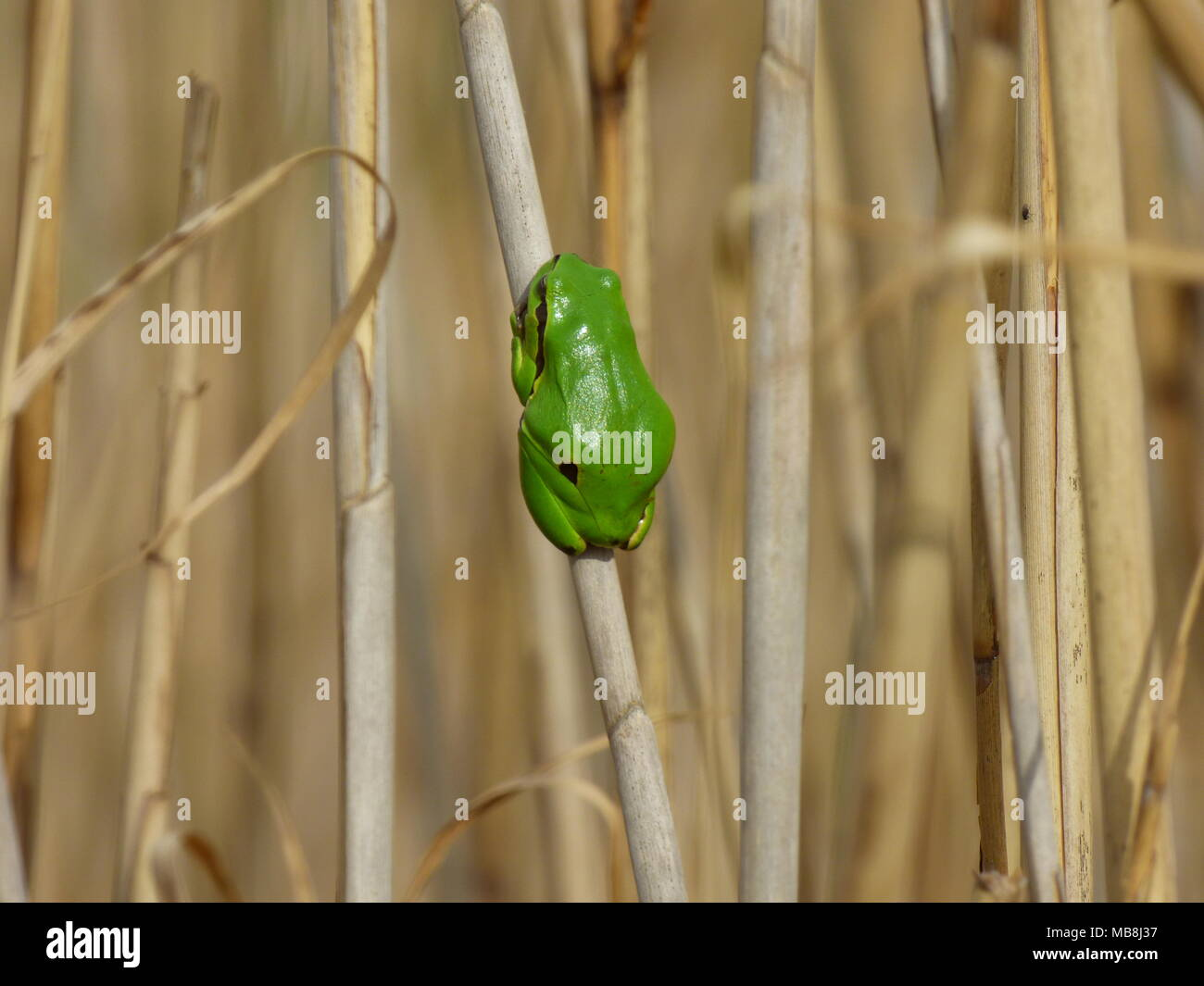 Single small green European tree frog - Hyla arborea on the old reed Stock Photo