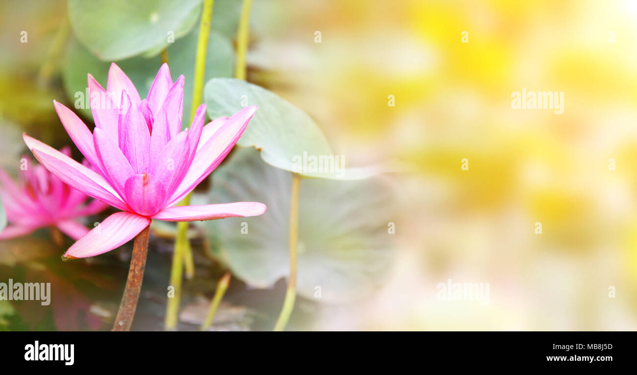 Horizontal Banner With Beautiful Pink Lotus Flower Water Lily