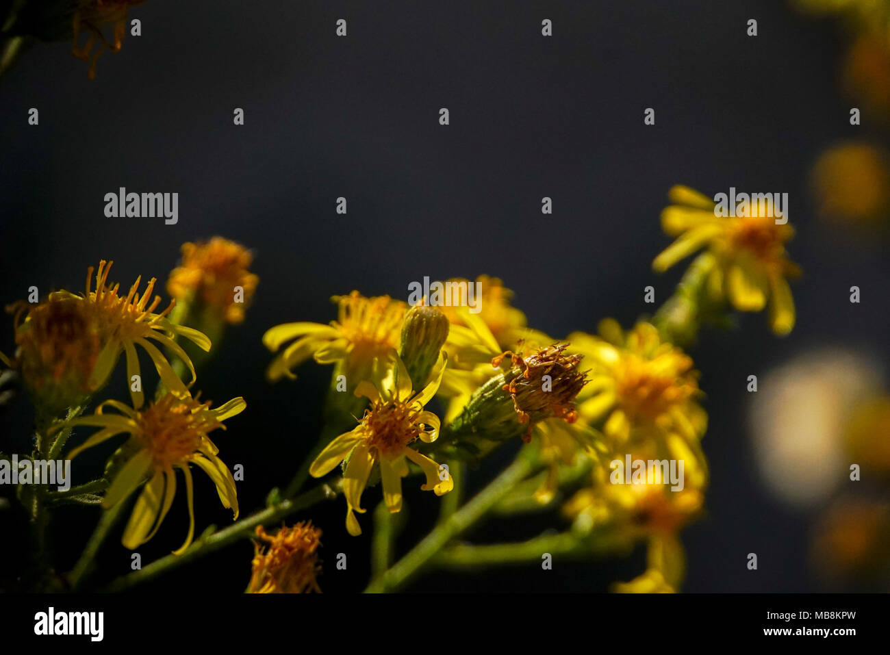 Yellow wildflowers on dark black background - Stock Image