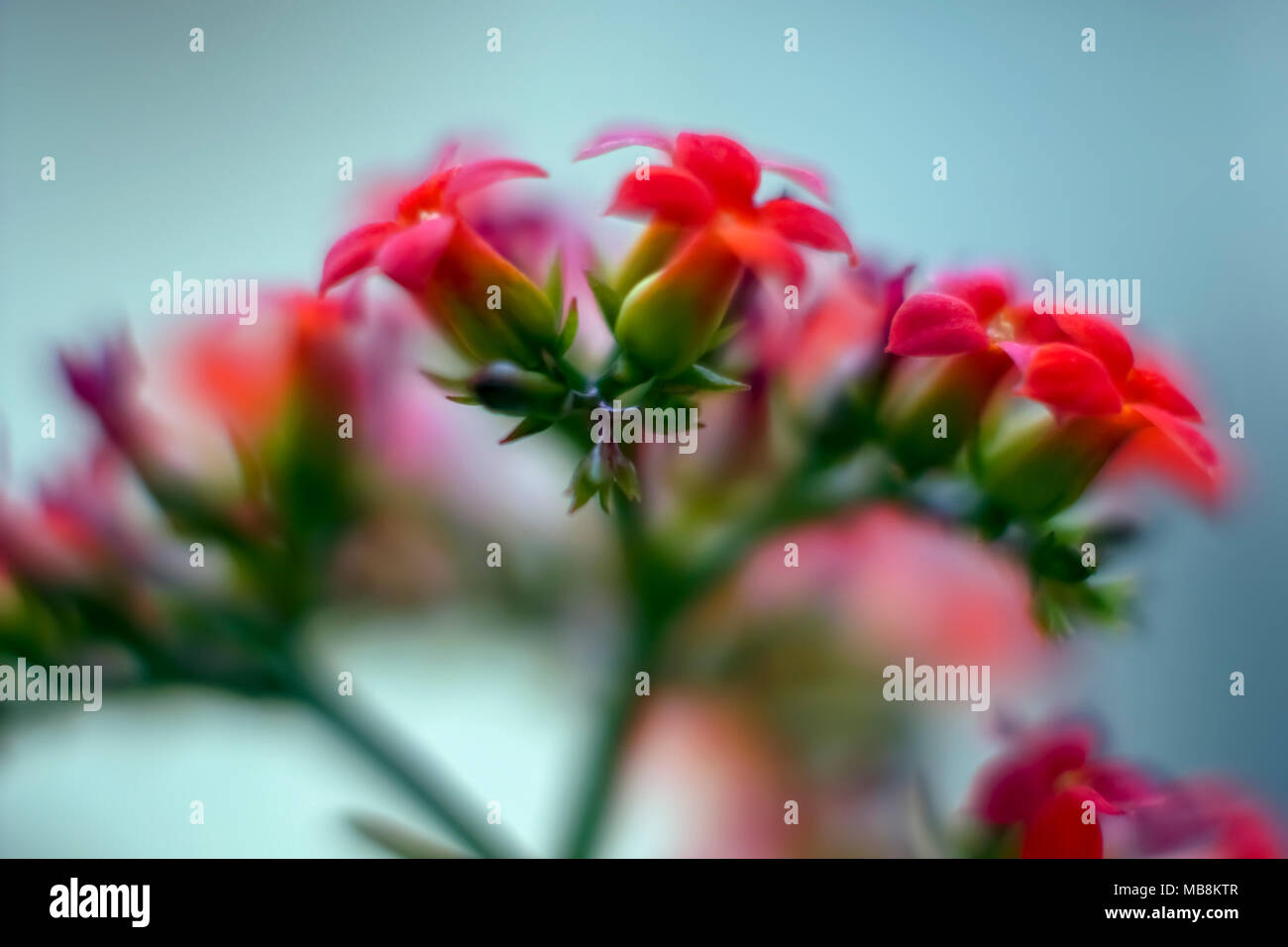 Extreme closeup of a flower with red petals - Stock Image