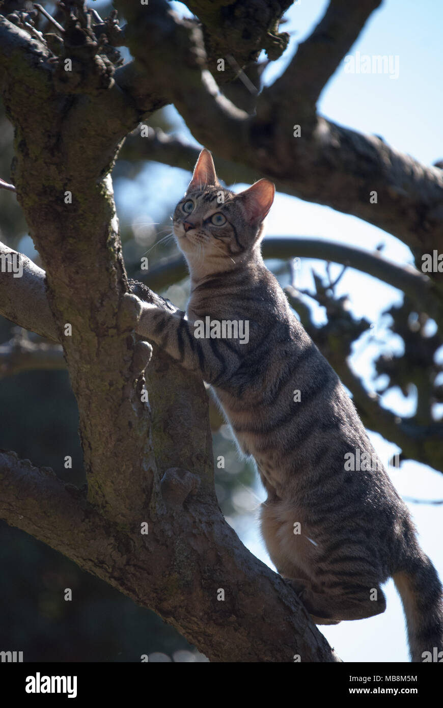 Bengal cat climbing a bare leafless tree.  Cat standing upright with the sun on her.  Very beautiful young cat. Stripy, shiny coat.Close up picture.ca - Stock Image