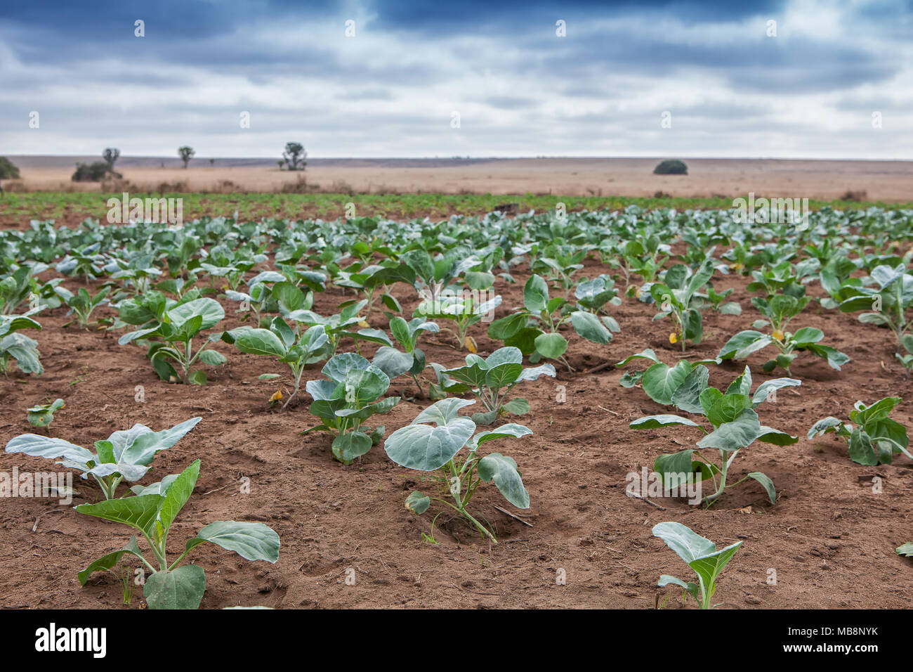 Field of African agriculture in Cabinda. Angola. - Stock Image
