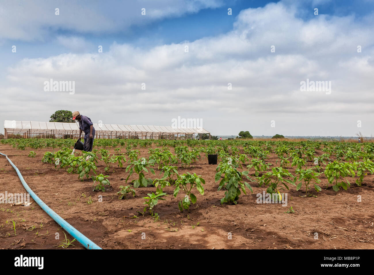 African farmer to watering plantation. - Stock Image