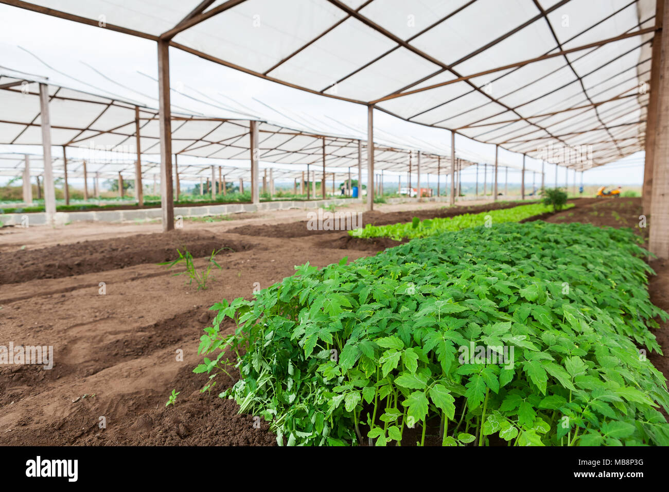 Inside view of greenhouse with plantation. - Stock Image