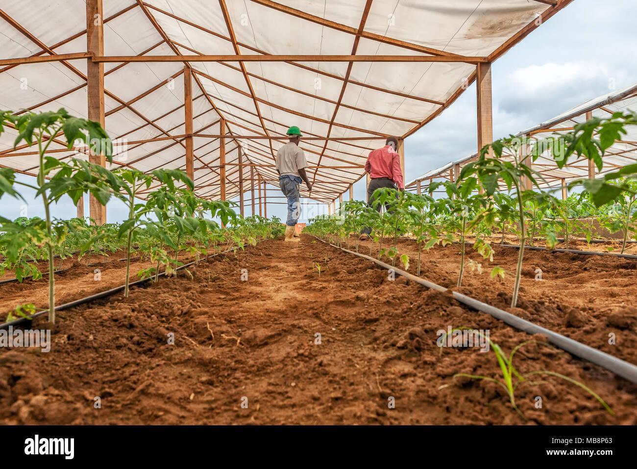 CABINDA/ANGOLA - 09JUN2010 - farmer working in a greenhouse. - Stock Image