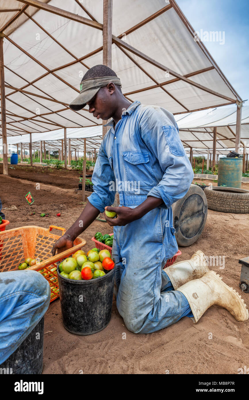 CABINDA/ANGOLA - 09JUN2010 - African farmer selecting tomatoes. - Stock Image