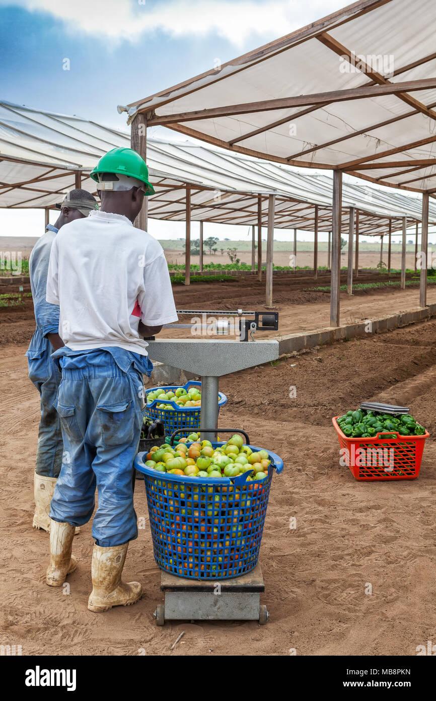 CABINDA/ANGOLA - 09JUN2010 - African farmer weighing tomatoes. - Stock Image