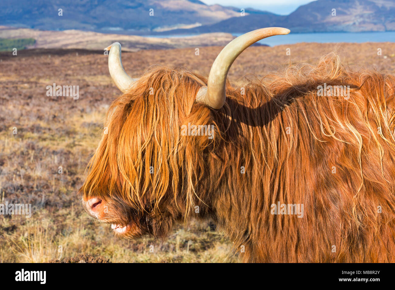 Highland cattle cow in landscape on Isle of Skye near Elgol, Scotland, UK in March - highland cattle showing teeth smiling laughing - Stock Image
