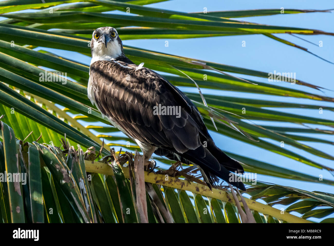 osprey pandion haliaetus perched in palm tree near the. Black Bedroom Furniture Sets. Home Design Ideas