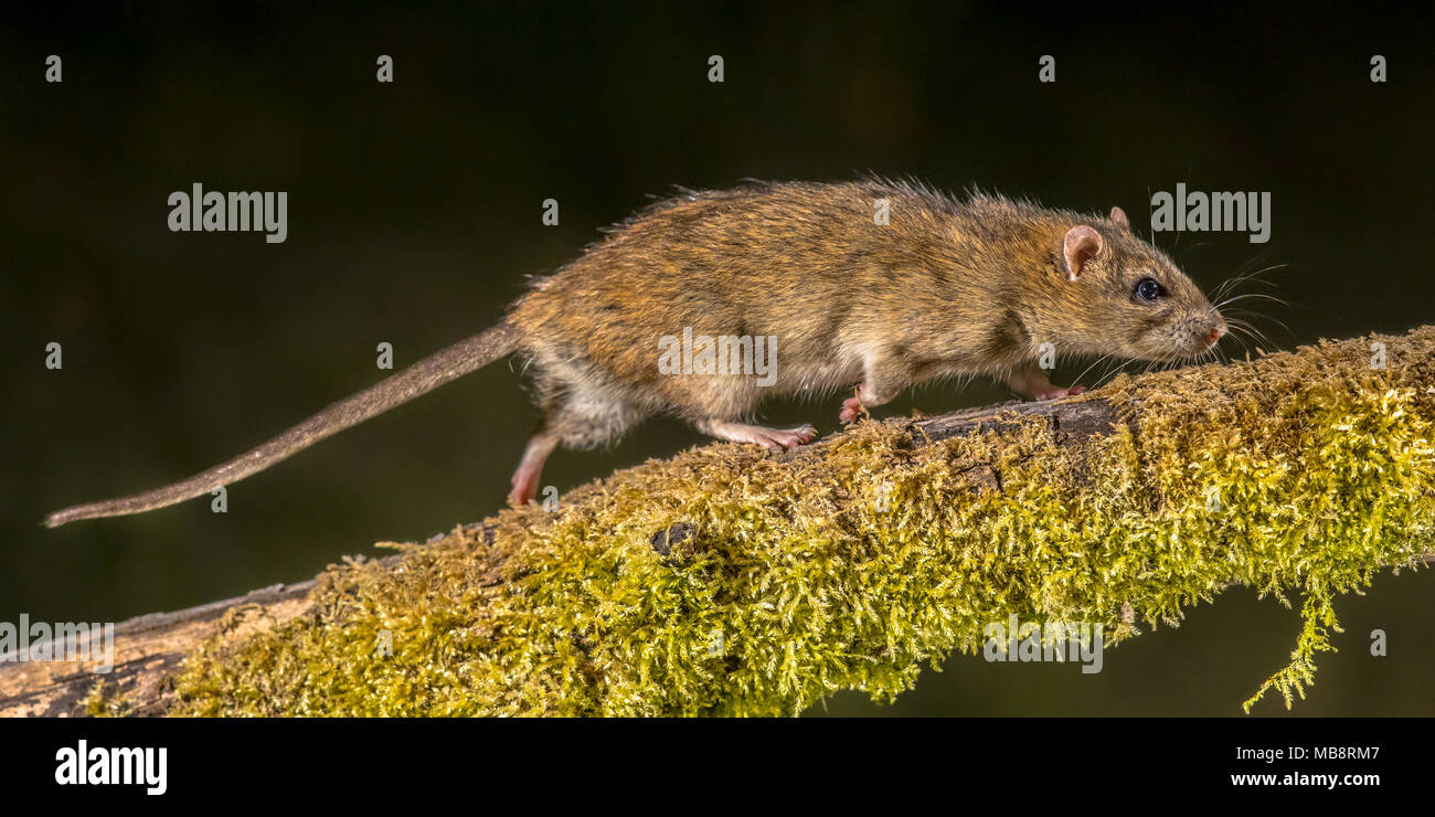 Strong Wild Brown rat (Rattus norvegicus) turning on log at night. High speed photography image - Stock Image