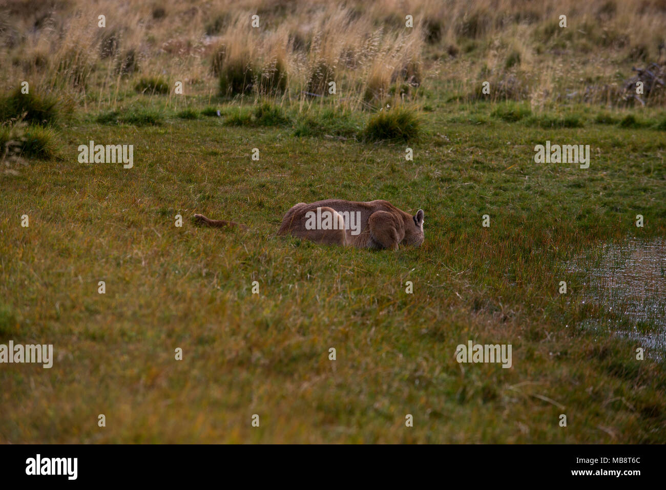 Wild female Patagonian Puma drinking at side of pond - Stock Image