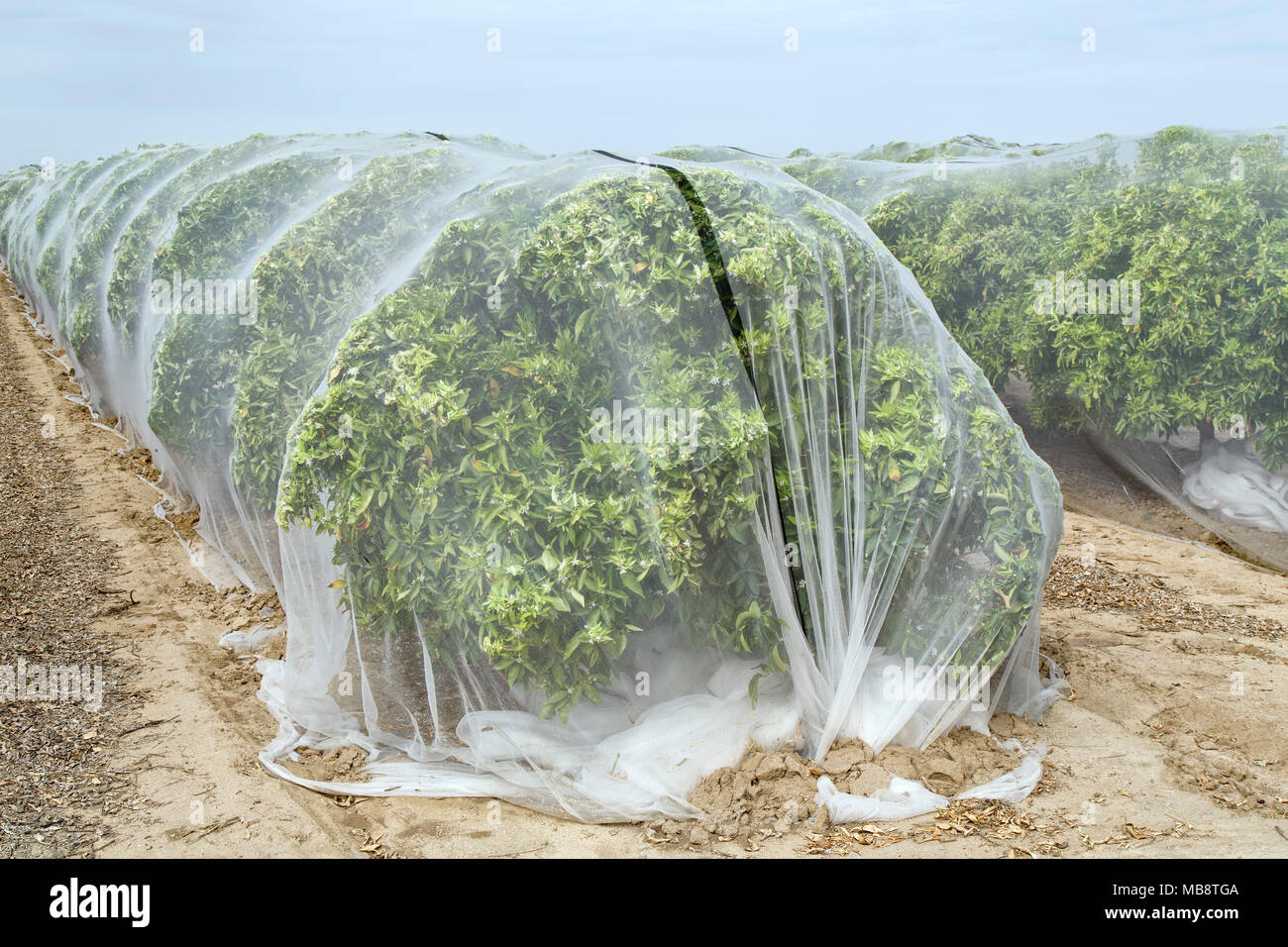 Netting protecting ''Clementine'  Mandarin orange orchard against cross-pollination, polyethylene fine mesh netting, - Stock Image