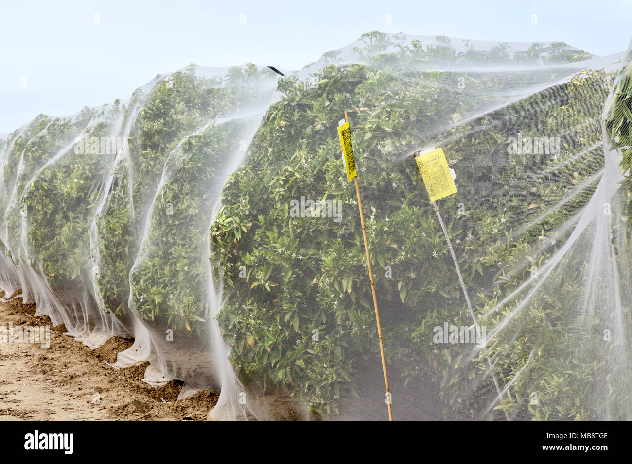 Netting protecting 'Clementine' mandarin orange citrus orchard against cross-pollination of fruit, Polyethylene fine mesh netting, - Stock Image