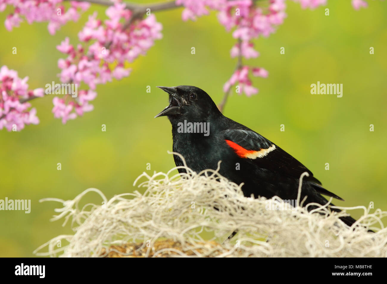 A male Red-winged Blackbird singing loudly during spring courtship against a backdrop of redbud blossoms. - Stock Image