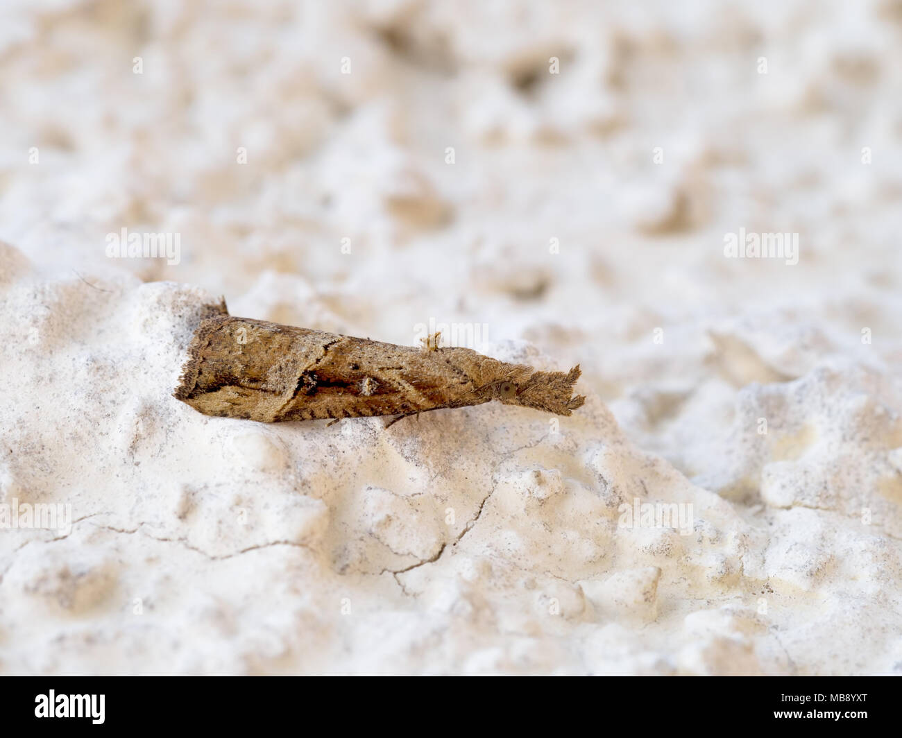 Hypena rostralis, Buttoned snout moth,macro. Italy, April 2018. - Stock Image