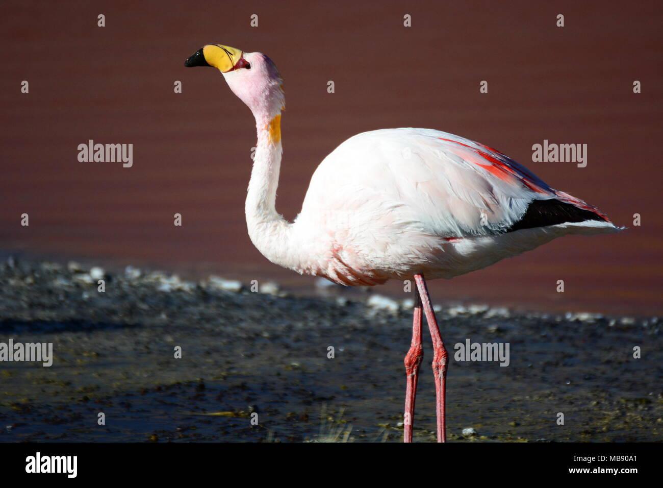 James flamingo closeup. Laguna Colorada. Eduardo Avaroa Andean Fauna National Reserve. Bolivia Stock Photo