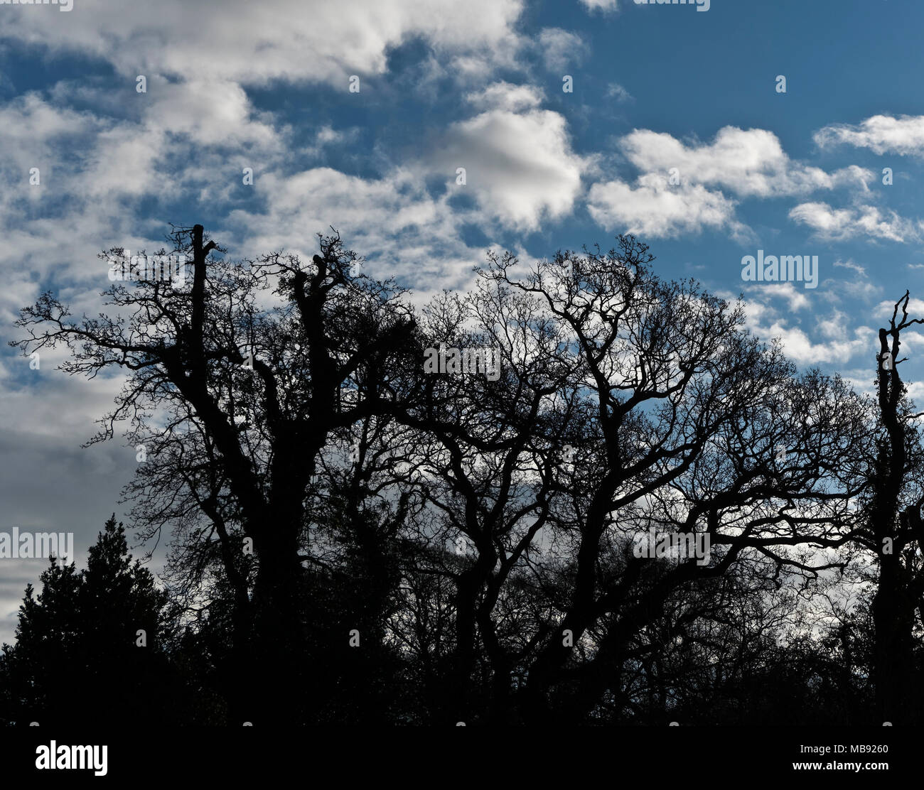 A silhouetted row of ancient oak trees in winter with bare branches - Stock Image