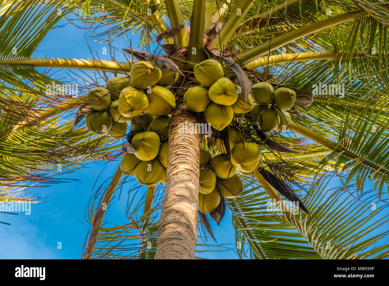 Below a palm tree with lots of fresh hanging coconuts. Taken in Terengganu, Malaysia. Stock Photo