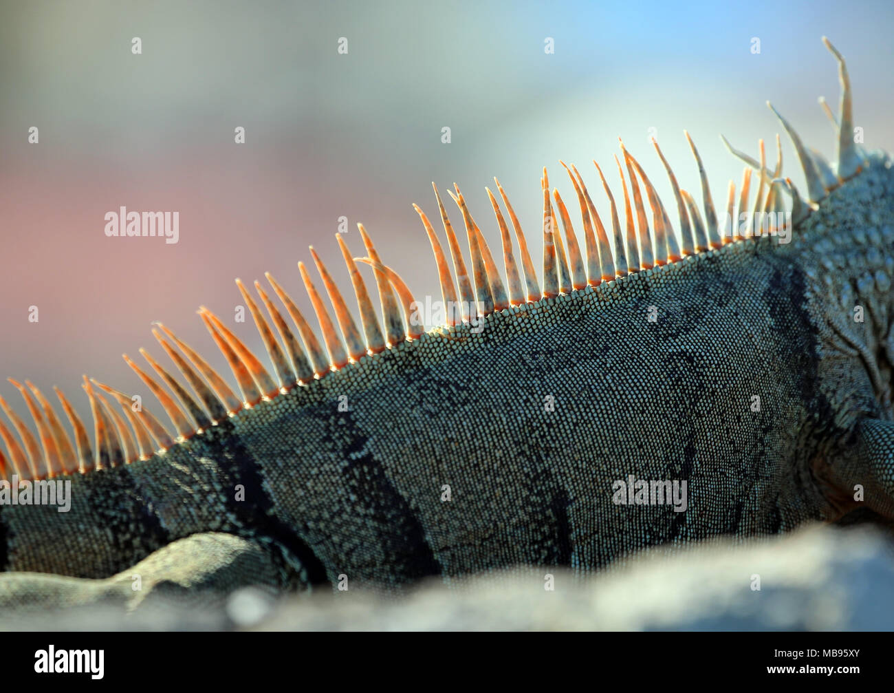 detail of iguana reddish tail spines - Stock Image