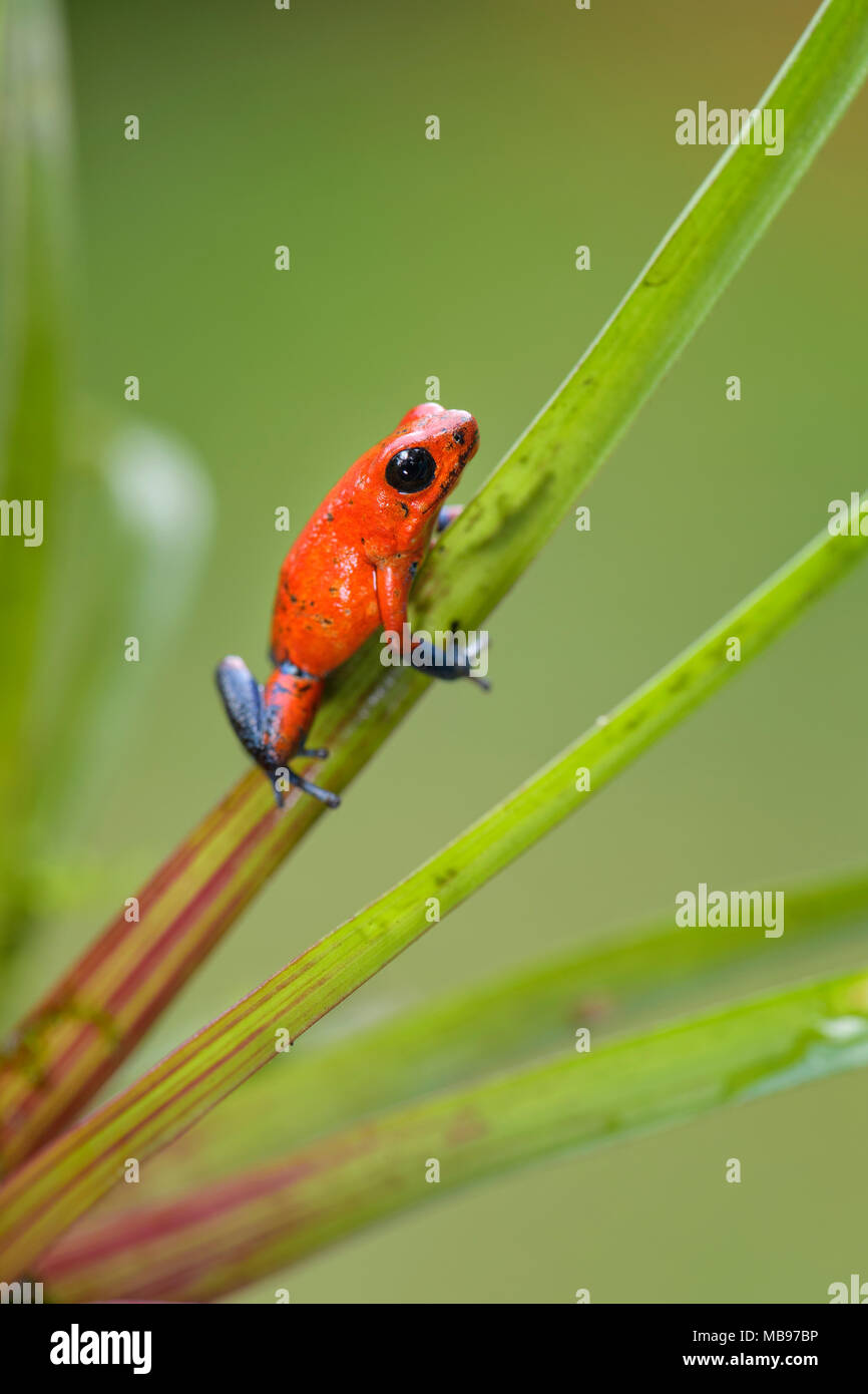 Red Poison Dart Frog - Oophaga pumilio, beautiful red blue legged frog from Cental America forest, Costa Rica. - Stock Image