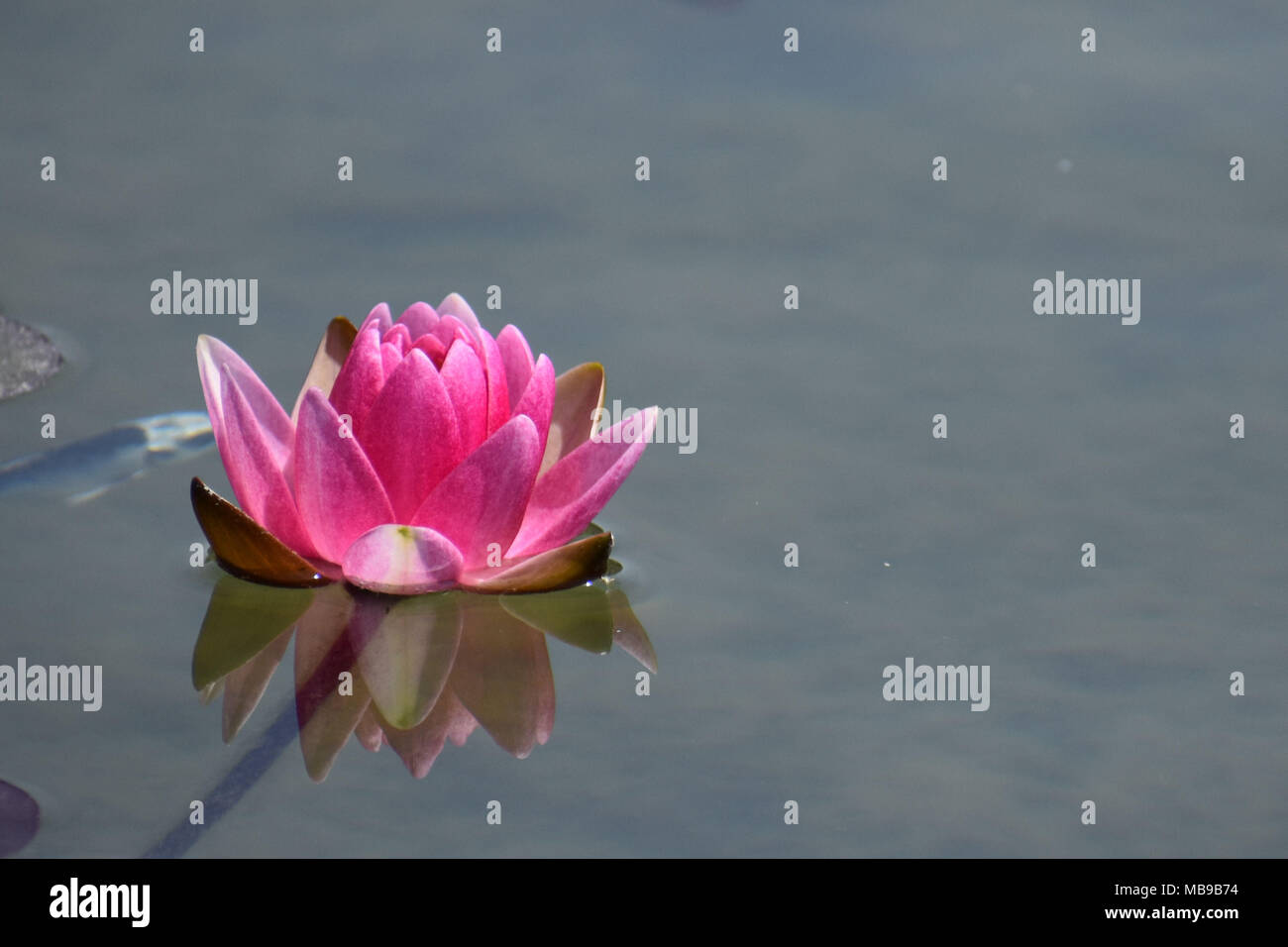 Floating Hot Pink Lily Stock Photos Floating Hot Pink Lily Stock