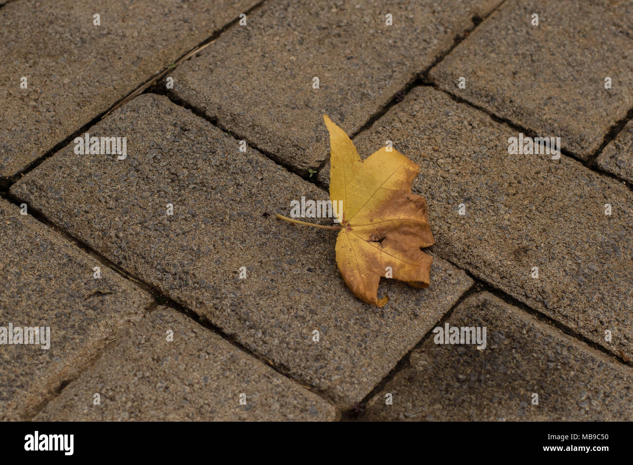 Yellow autumn leaf isolated on textured paving bricks image for background use with copy space - Stock Image