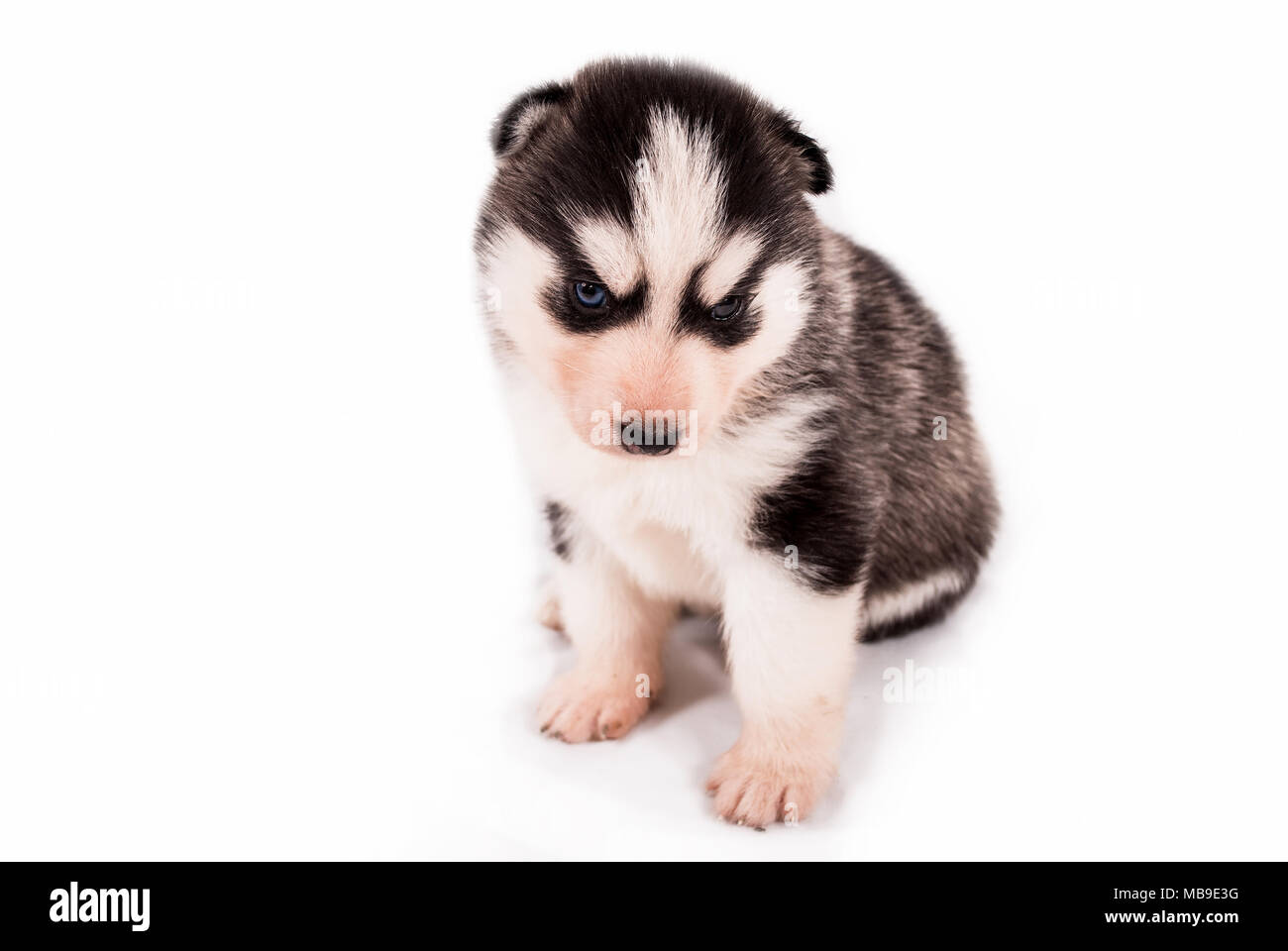 Cute baby puppy Siberian Husky posing on a white background - Stock Image