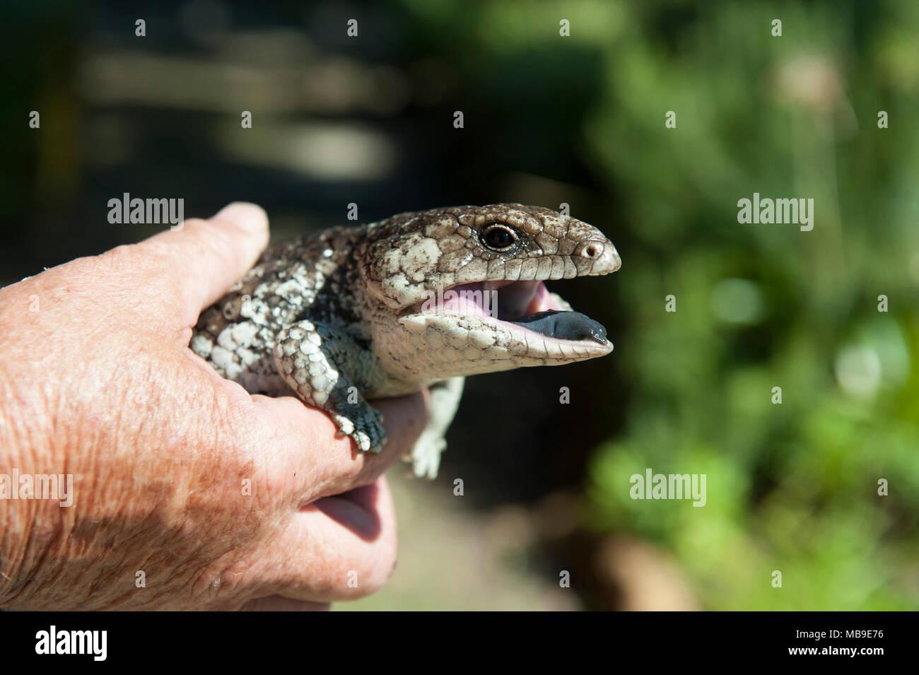 A healthy adult Bobtail lizard (Tiliqua rugosa), found in a suburban Western Australian garden Stock Photo