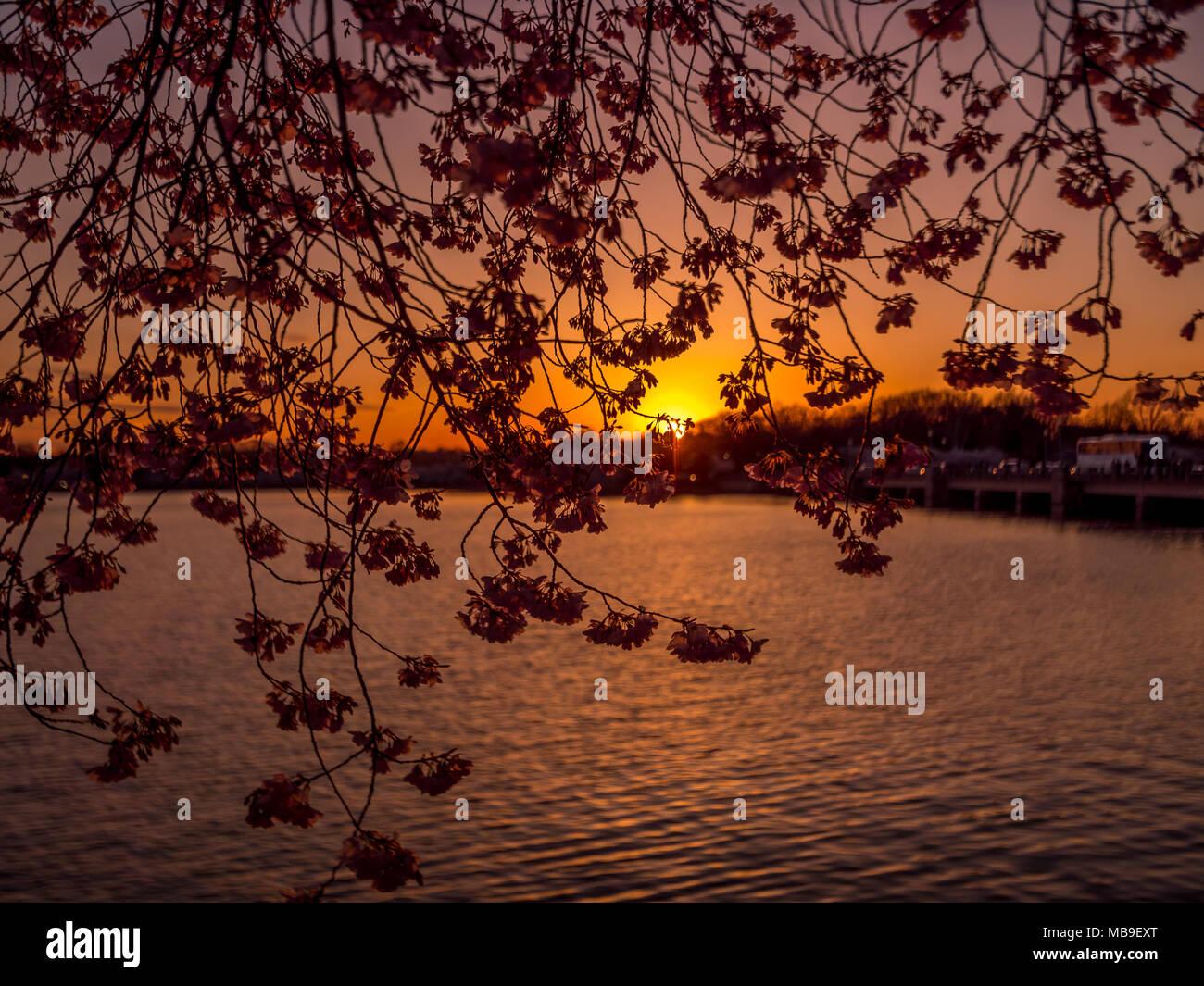 Beautiful cherry blossom sakura in spring time at sunset Stock Photo