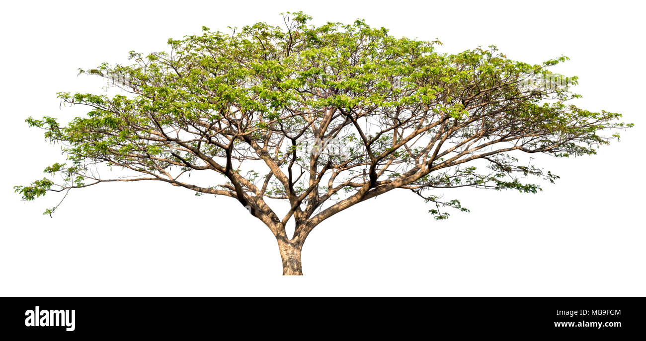 isolated big tree on white background, high quality single tree for print and web design Stock Photo