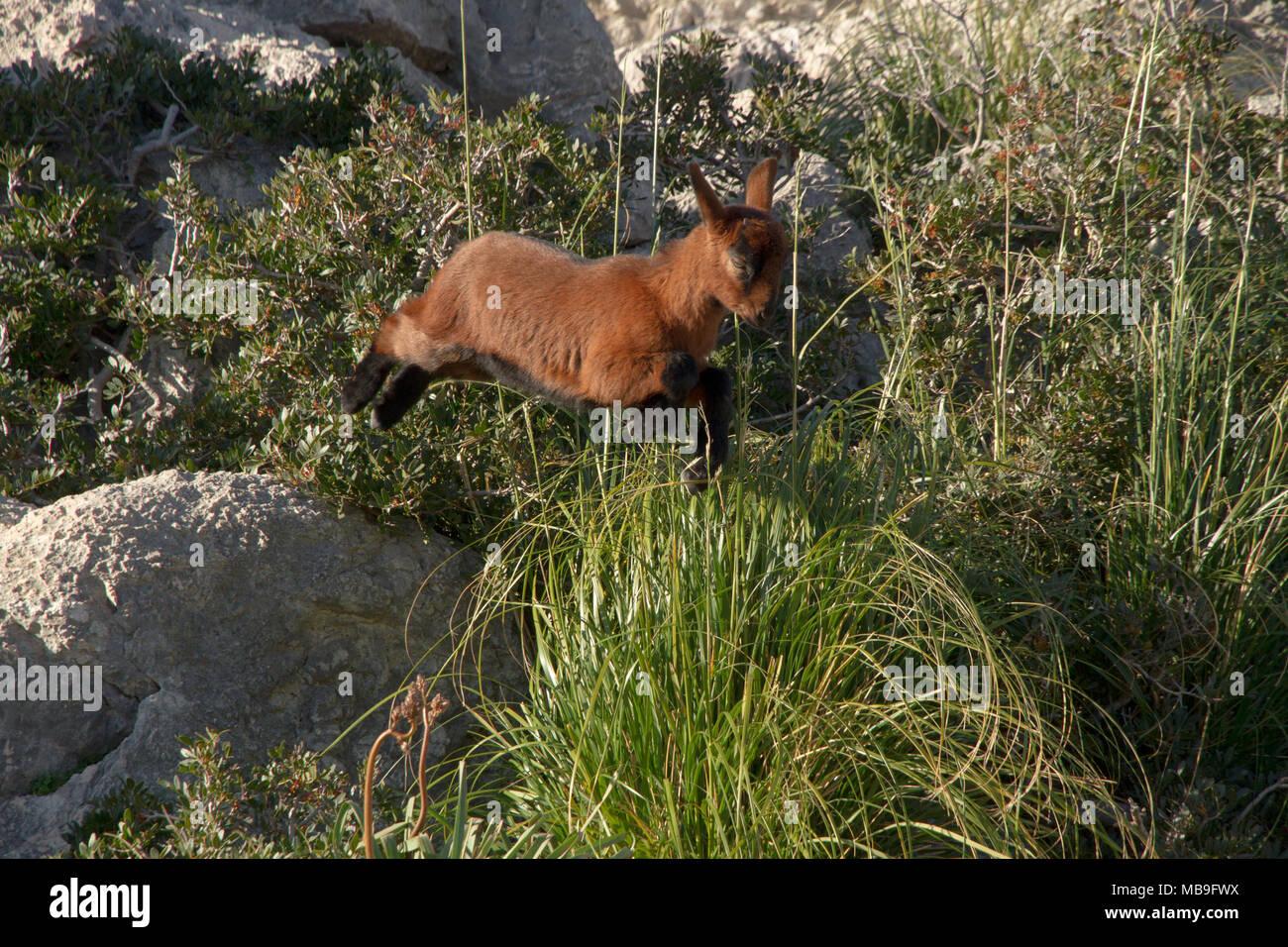 Wild nanny goat,  Serra de Tramuntana, Mallorca, Majorca, Balearic Spain - Stock Image