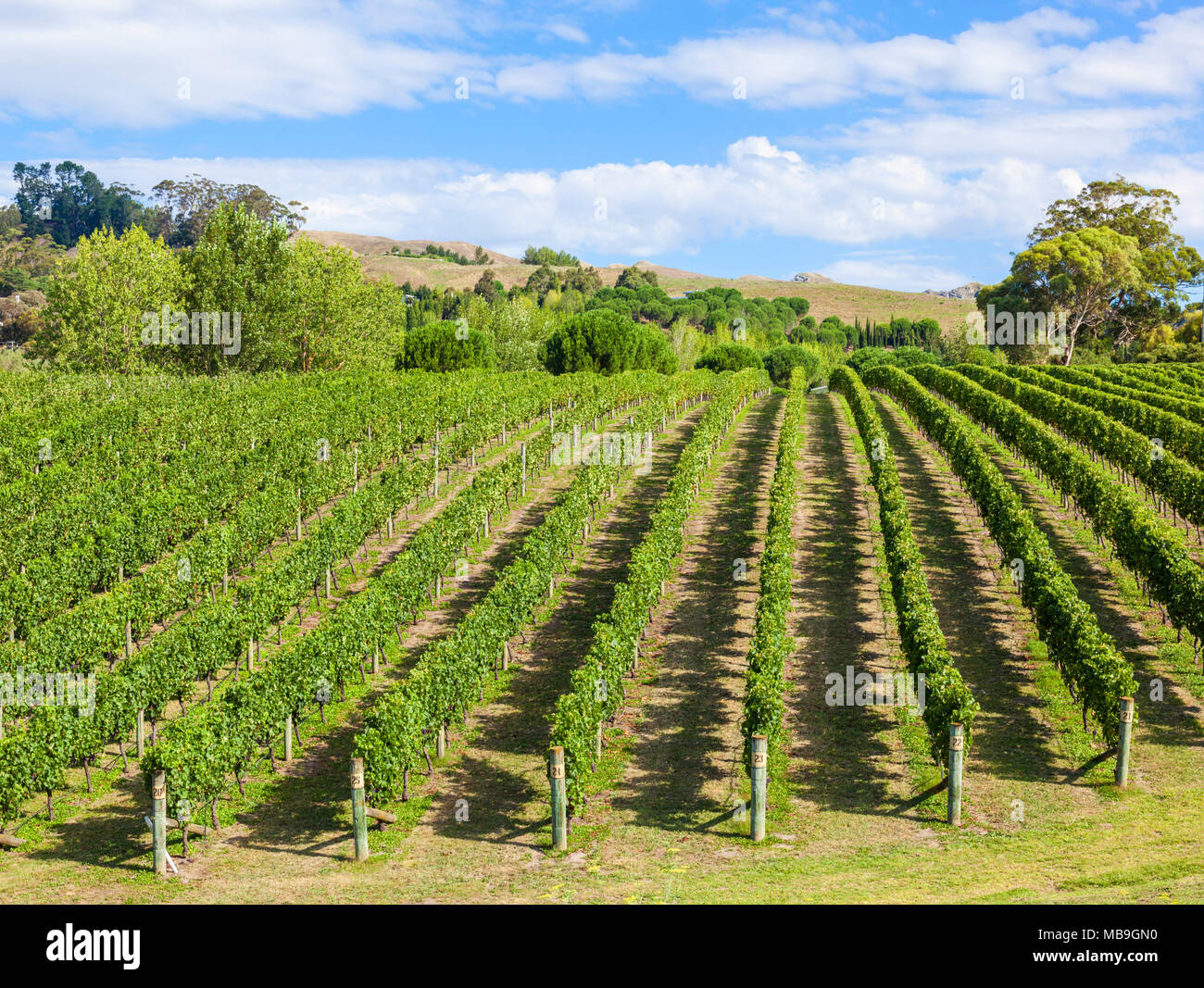 new zealand Hawkes bay new zealand bunches of grapes on vines in rows in a vineyard in Hawkes bay Napier New zealand North island NZ - Stock Image