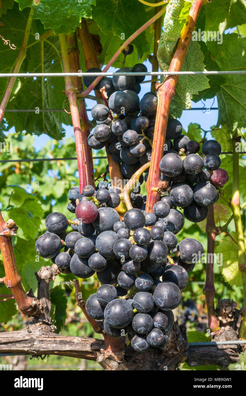 Hawkes bay new zealand bunches of grapes on vines in a vineyard Hawkes bay Napier New zealand North island NZ - Stock Image