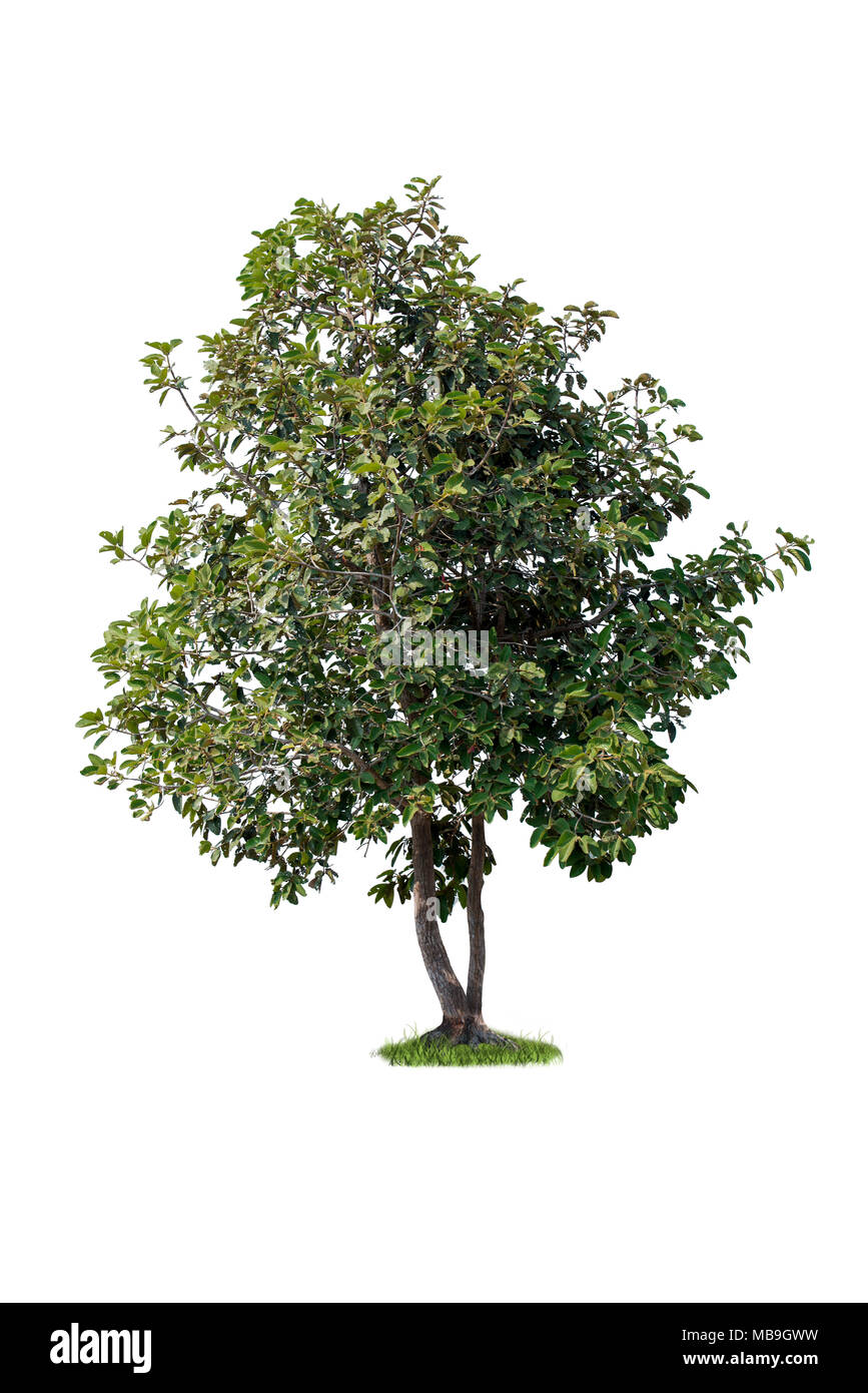 isolated tree on white background, hight quality of single tree for print and webpage use Stock Photo