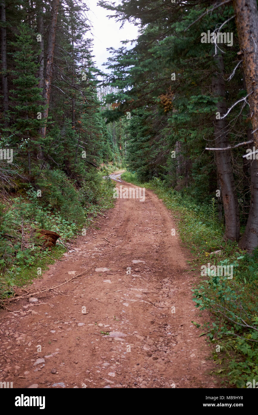 Dirt forestry track or narrow road meandering through a conifer forest with a dense plantation of evergreen trees and lush green undergrowth - Stock Image