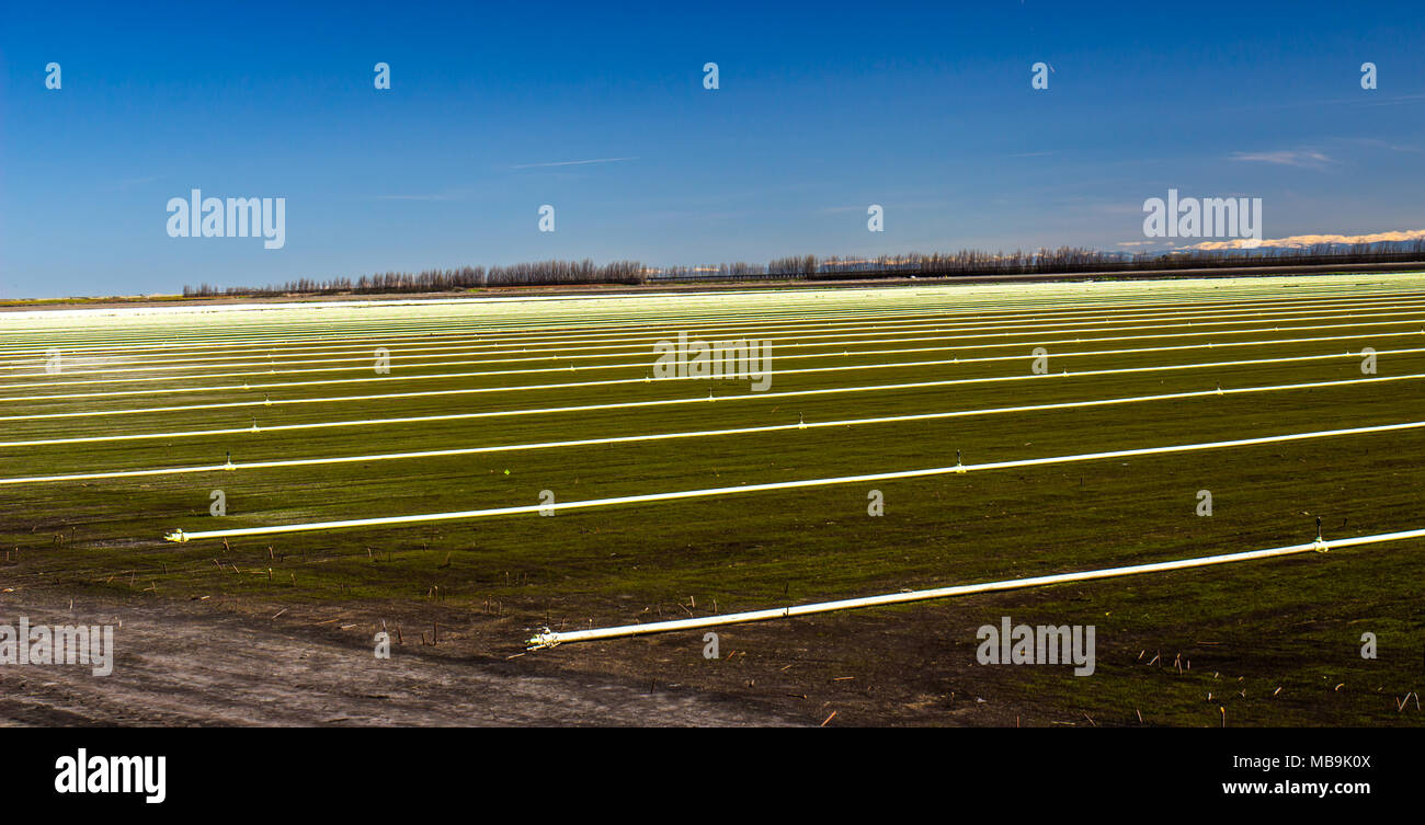 Rows Of Irrigation Pipes & Sprinklers In Farm Field - Stock Image
