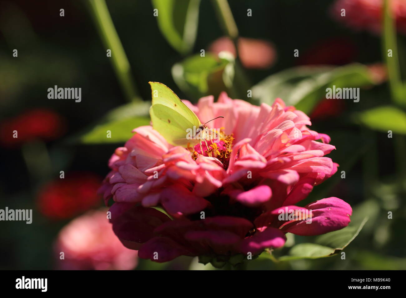 Butterfly sitting on colorful flowers in the garden Stock Photo ...