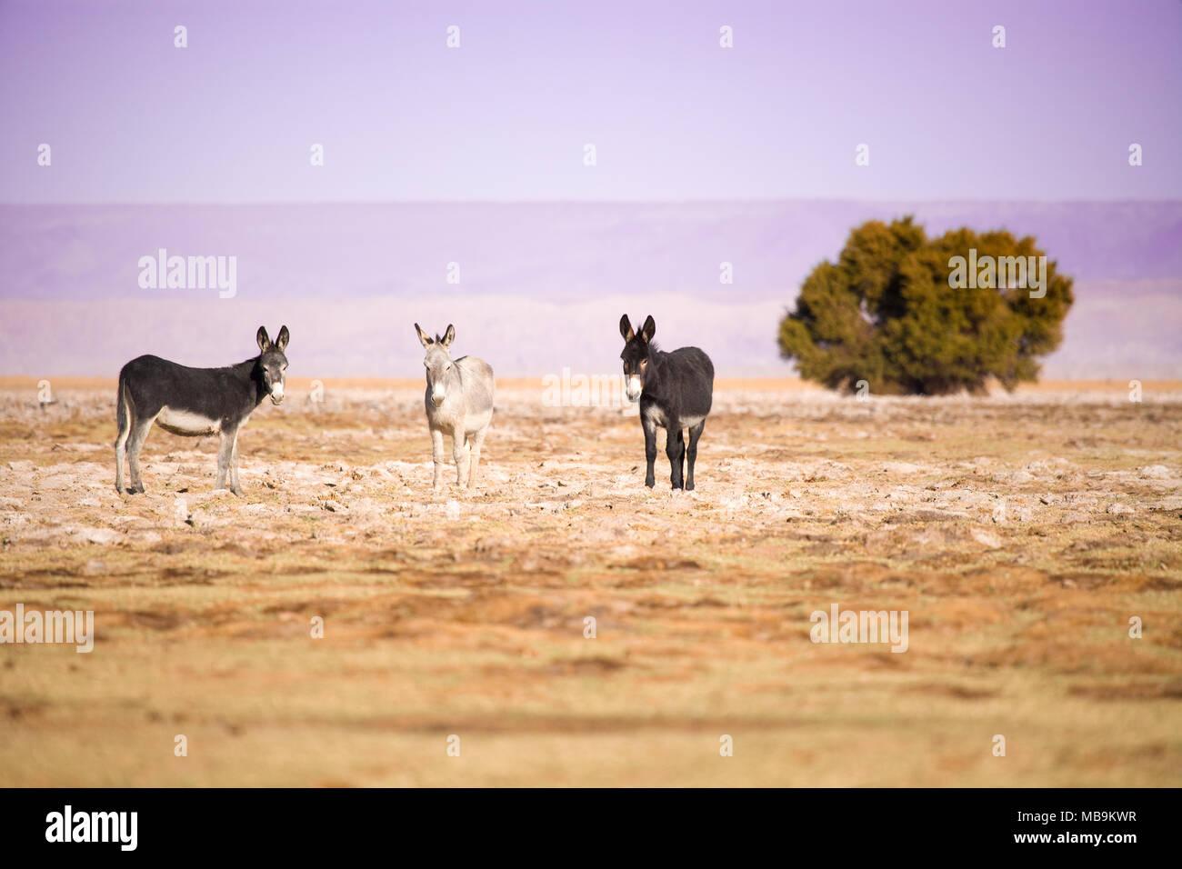 Donkeys in the Salar de Atacama (Atacama Salt lake), Tambillo, Los Flamencos National Reserve, Atacama desert, Chile, South America Stock Photo