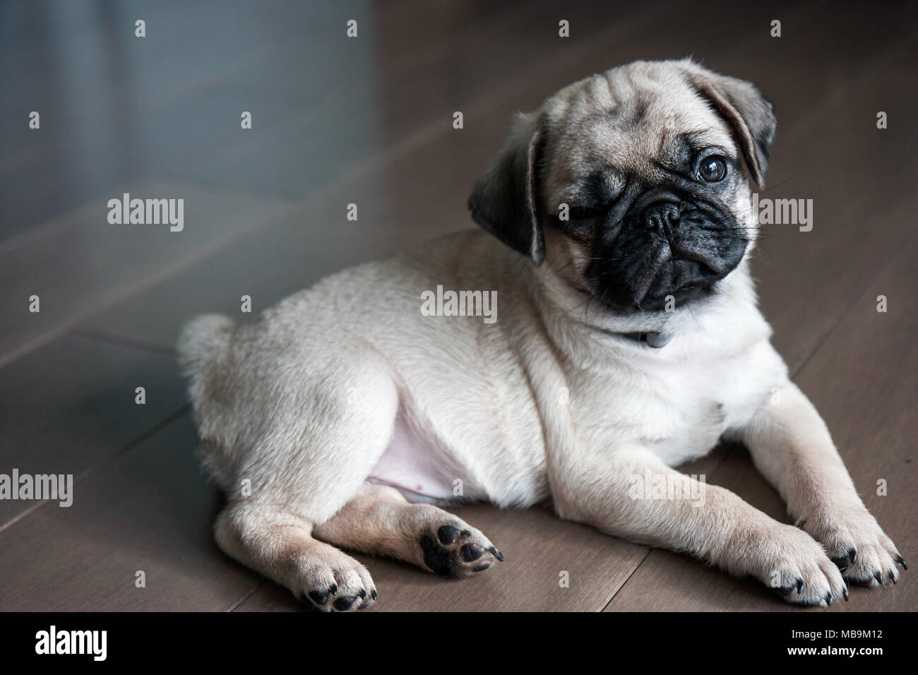 Adorable Pug Puppy - Stock Image