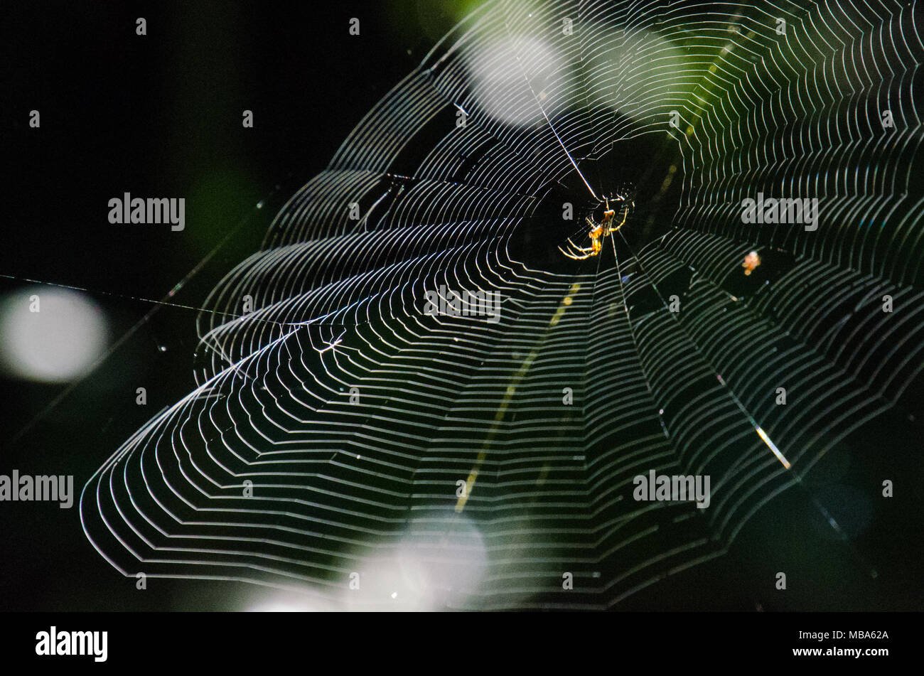 Spider in centre of large web lit by morning light with natural green background. Spiderweb construction with spider. - Stock Image