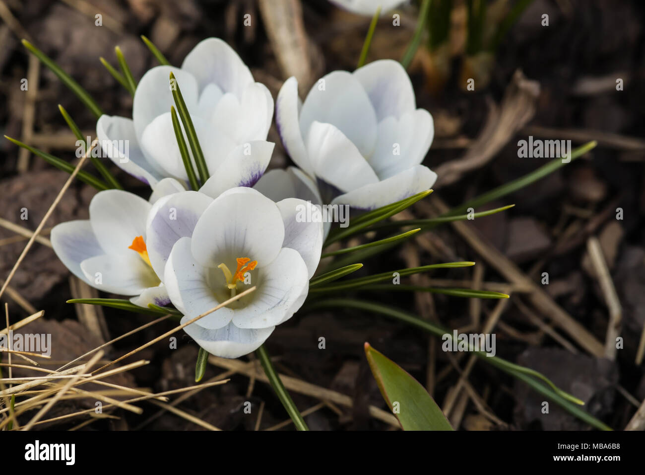Blooming White Crocus Flower In The Bud Stock Photo 179089436 Alamy