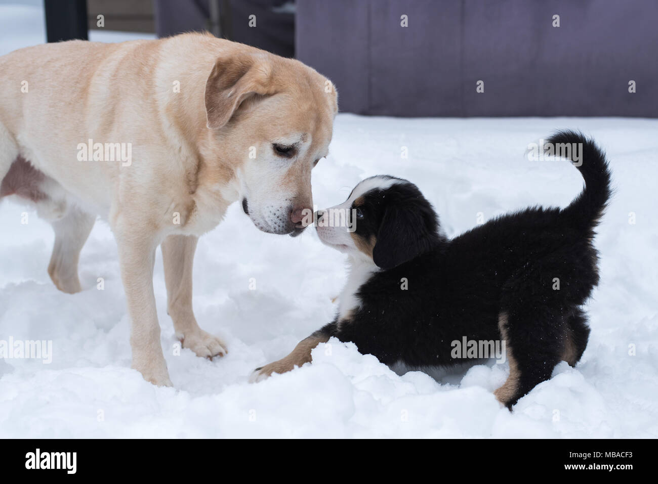 A Bernese Mountain Dog Puppy Looking At A Yellow Lab Stock