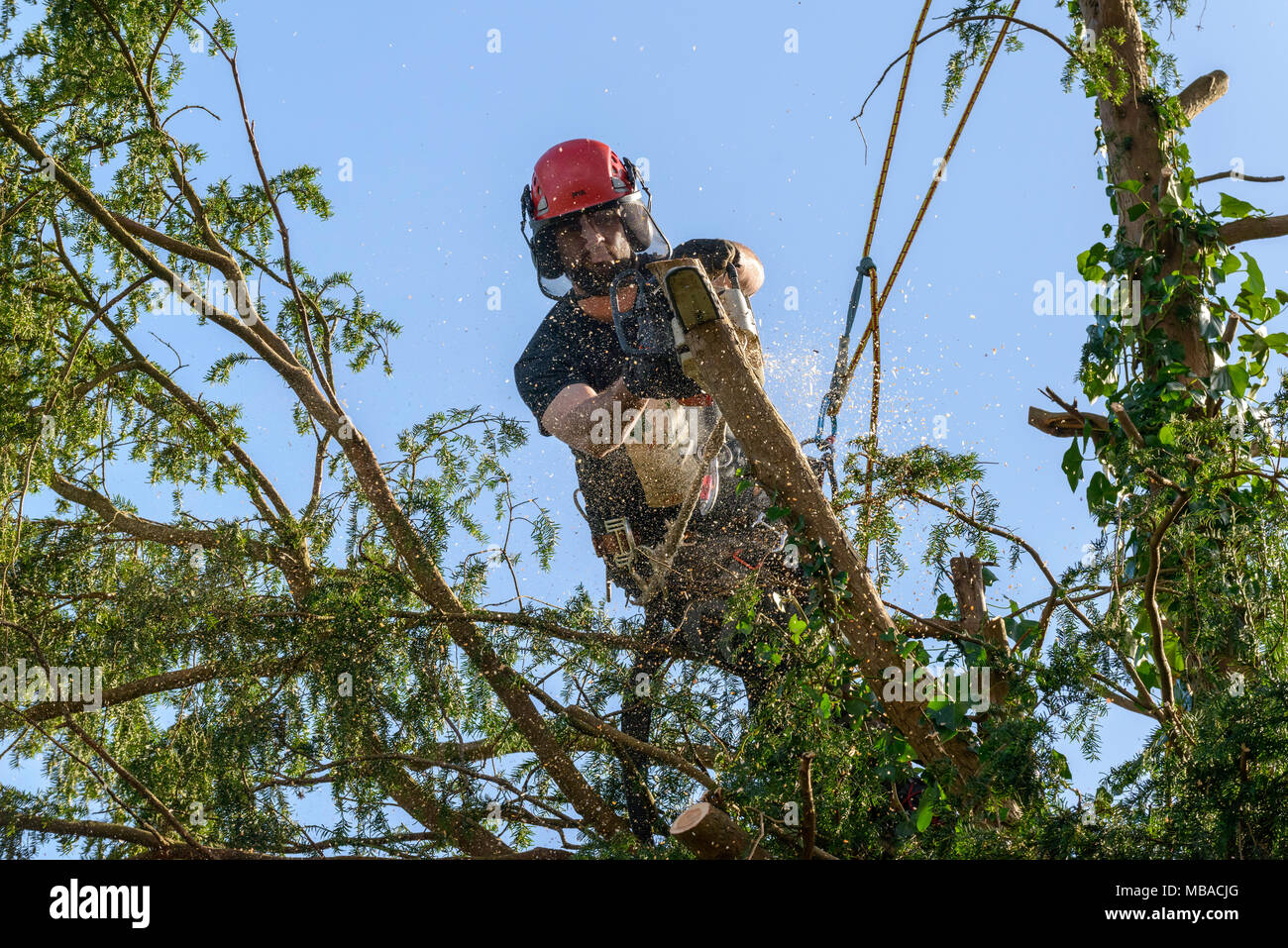 TREE SURGEON TRIMMING BACK YEW TREE IN DOMESTIC GARDEN UK.HE IS WEARING A PROTECTIVE HELMET WITH EAR DEFENDERS AND SAFETY FACE MASK. - Stock Image