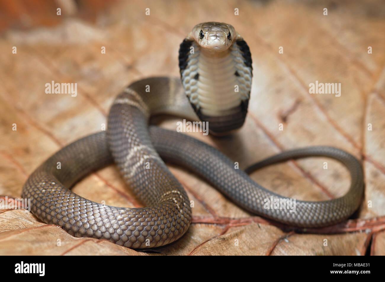 Monocled cobra Naja kaouthia Stock Photo: 179095477 - AlamyNaja Kaouthia Suphanensis