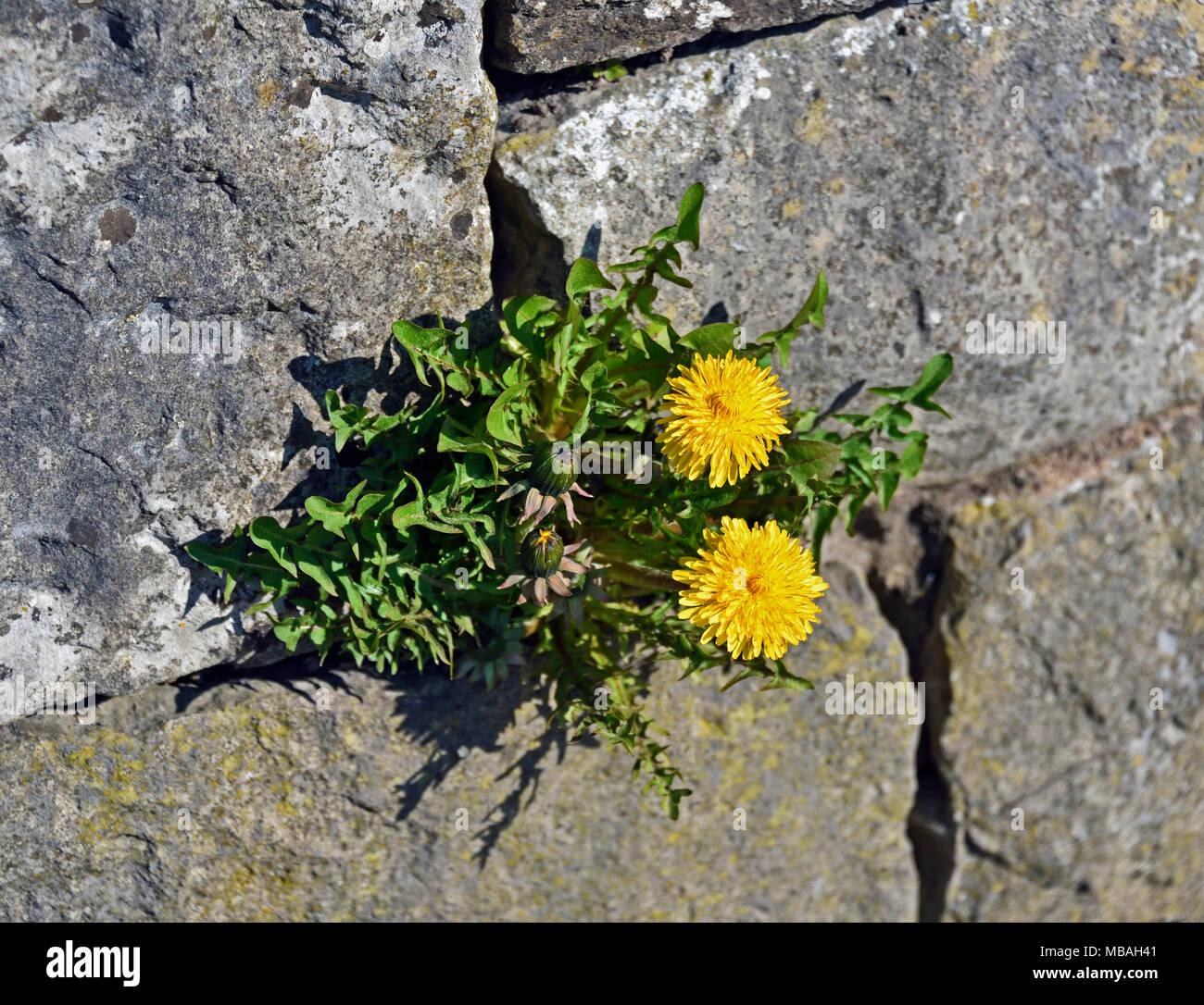 Dandelion (Taraxacum) growing in a limestone wall. Parkside Road, Kendal, Cumbria, England, United Kingdom, Europe. - Stock Image