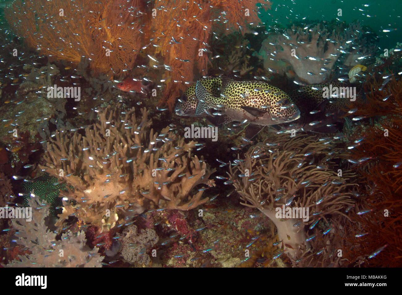 Beautiful soft  corals in the Ceram sea, Raja Ampat, West Papua, Indonesia Stock Photo