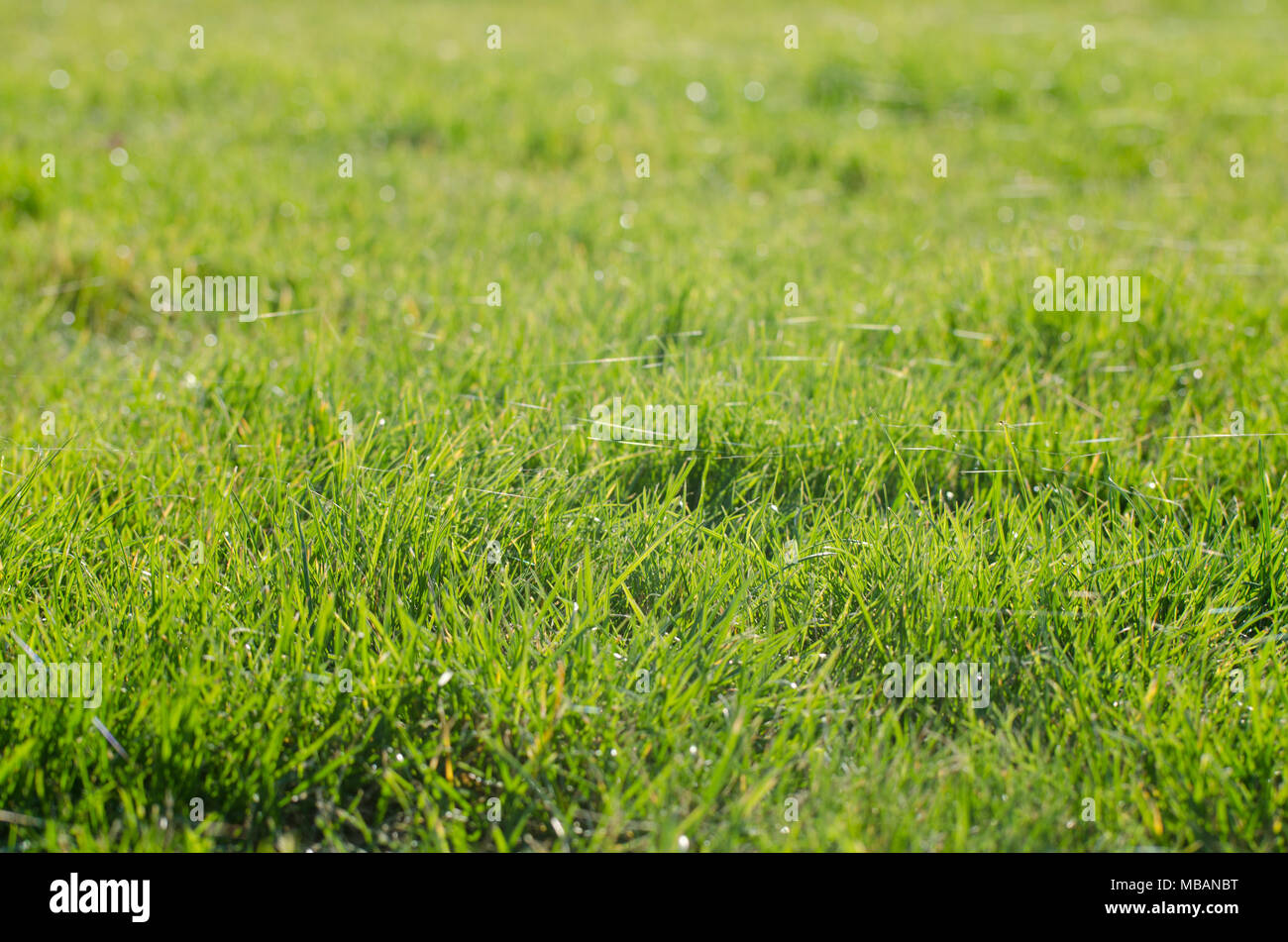 Green grass meadow fulfilled by spiders web in a autumn sunny morning - Stock Image
