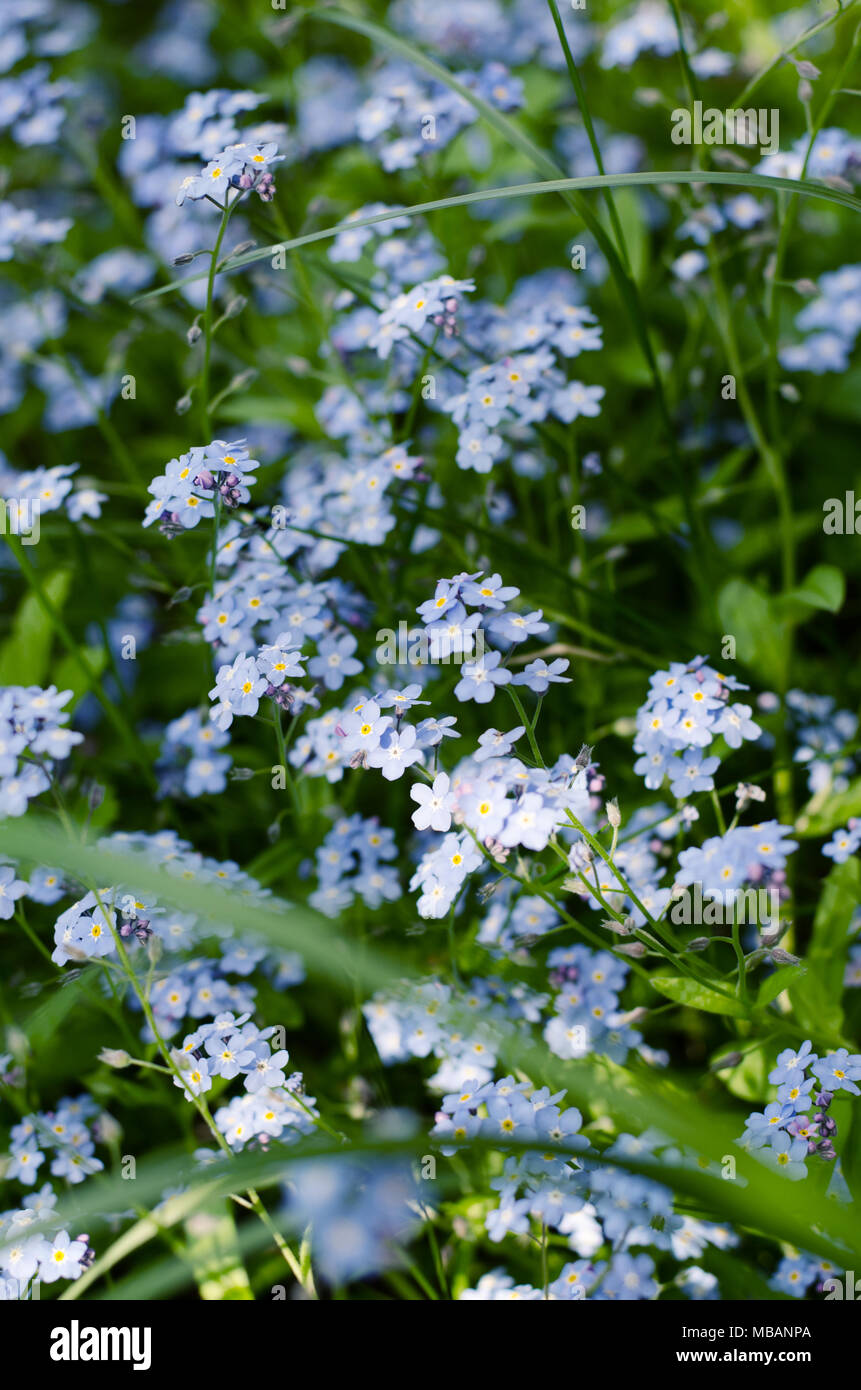 Wild Meadow Of Beautiful Blue Flowers Forget Me Not Summertime Hipster Toned Season Background