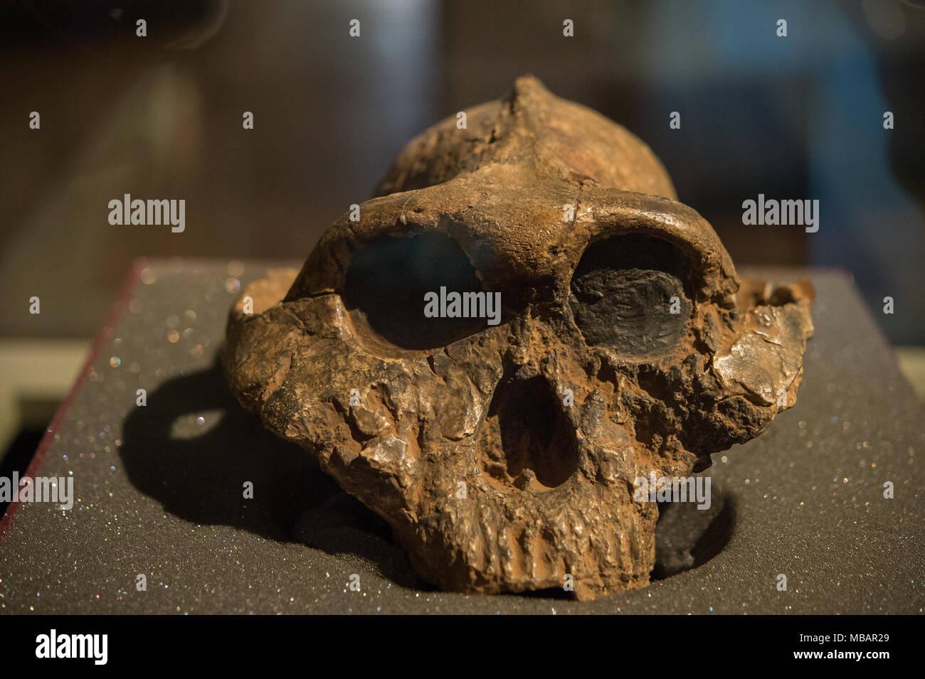 Skull of hominid, Paranthropus boisei, australopithecines. 2,6 - 1,2  million years old, East Africa. Pliocene and Pleistocene age. Nairobi Museum - Stock Image