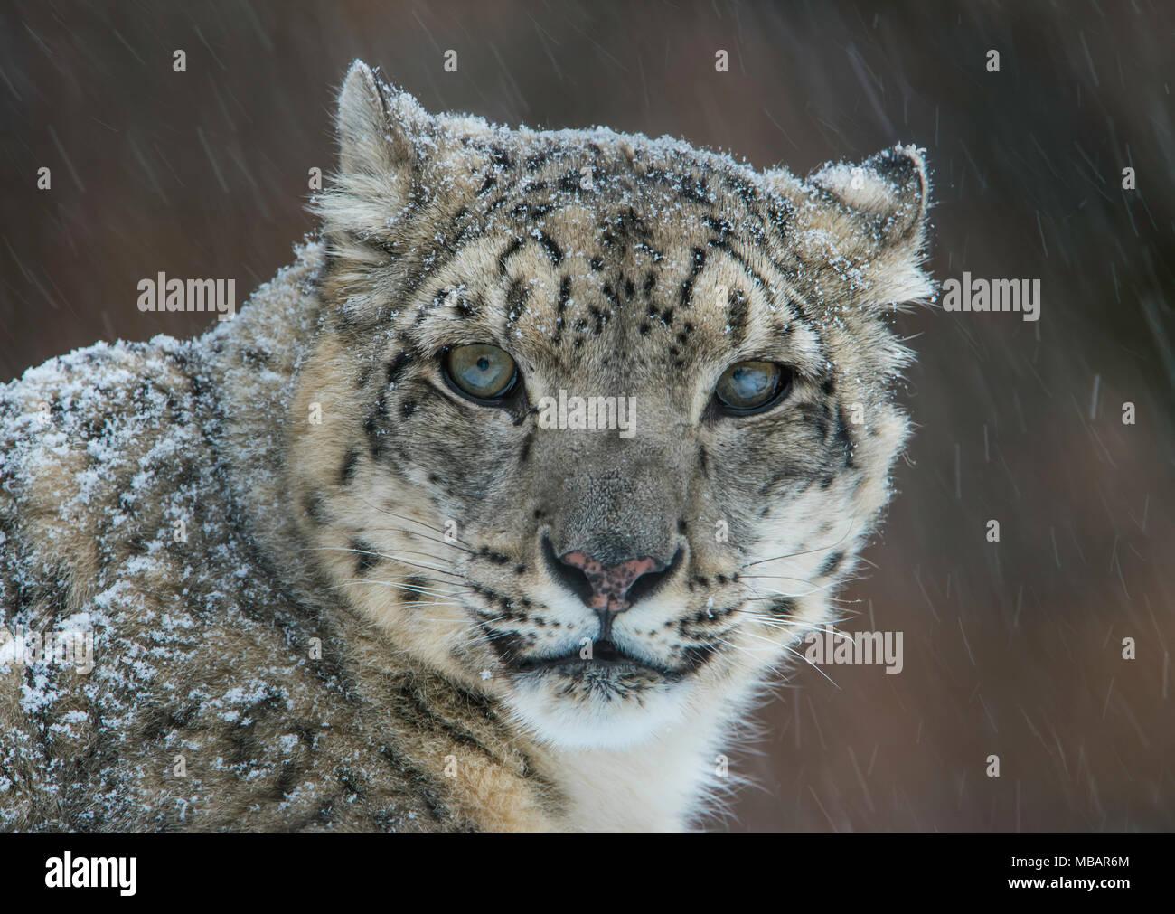 Snow Leopard (Panthera uncia), winter, Central & South Asia, filmed under controlled conditions, by Bruce Montagne/Dembinsky Photo Assoc Stock Photo